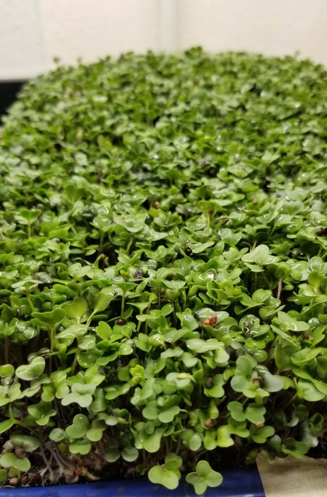 Basic Salad Mix - Microgreens from Real Foods Farm in Wimberley, Texas