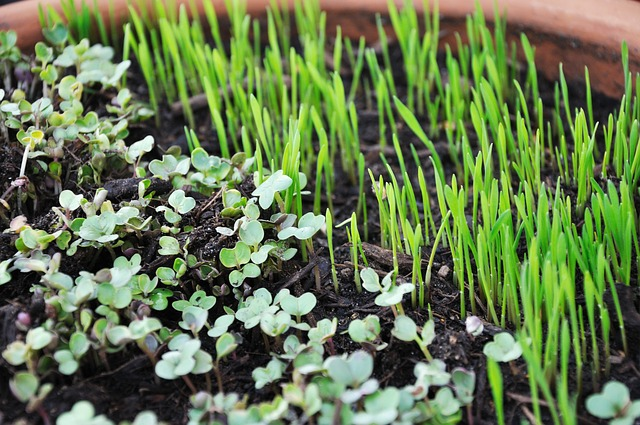 Microgreens are highly nutritious and delicious